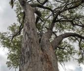 Eucalyptus marginata - Jarrah forest LLP-716 ©Jiri Lochman - Lochman LT
