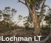 Eucalyptus salmonophloia Salmon Gum AED-639 ©Marie Lochman - Lochman LT