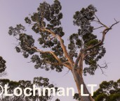 Eucalyptus salmonophloia Salmon Gum AED-640 ©Marie Lochman - Lochman LT