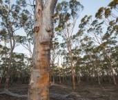 Eucalyptus salmonophloia - Salmon Gum AFE-582 ©Marie Lochman - Lochman LT