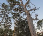 Eucalyptus salmonophloia - Salmon Gum AFE-706 ©Marie Lochman - Lochman LT