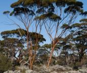 Eucalyptus salubris - Gimlet LLJ-795 © Jiri Lochman - Lochman LT