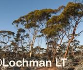 Eucalyptus salubris - Gimlet LLP-661 ©Jiri Lochman - Lochman LT
