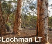 Eucalyptus wandoo - Wandoo woodland ACD-626 © Marie Lochman - Lochman LT