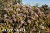 Isopogon adenanthoides Spider Coneflower LLO-719 ©Jiri Lochman - Lochman LT