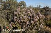 Isopogon adenanthoides Spider Coneflower LLO-720 ©Jiri Lochman - Lochman LT