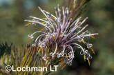 Isopogon adenanthoides Spider Coneflower LLO-721 ©Jiri Lochman - Lochman LT