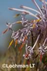 Isopogon adenanthoides Spider Coneflower LLO-722 ©Jiri Lochman - Lochman LT