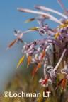Isopogon adenanthoides Spider Coneflower LLO-723 ©Jiri Lochman - Lochman LT