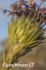Isopogon adenanthoides Spider Coneflower LLO-725 ©Jiri Lochman - Lochman LT