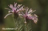 Isopogon adenantoides Spider Coneflower AEY-151 ©Marie Lochman - Lochman LT