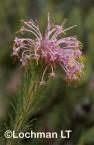 Isopogon adenantoides Spider Coneflower ASY-593 ©Marie Lochman - Lochman LT