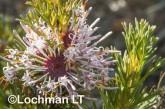 Isopogon asper - Coneflower AFE-054 ©Marie Lochman - Lochman LT
