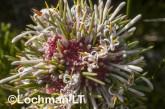 Isopogon asper - Coneflower AFE-055 ©Marie Lochman - Lochman LT
