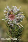 Isopogon asper - Coneflower LLO-727 ©Jiri Lochman - Lochman LT