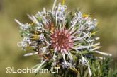 Isopogon asper - Coneflower LLO-728 ©Jiri Lochman - Lochman LT