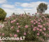 Isopogon divergens Spreading Coneflower LLO-793 ©Jiri Lochman - Lochman LT