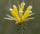 Lambertia echinata subsp. citrina LLP-506 ©Jiri  Lochman - Lochman LT