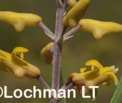 Persoonia comata AFE-490 ©Marie Lochman LT