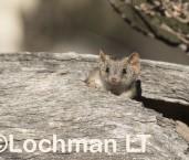 Antechinus flavipes LLP-927 ©Jiri Lochman - Lochman LT