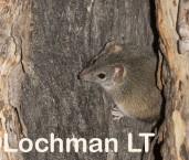 Antechinus flavipes LLP-937 ©Jiri Lochman - Lochman LT