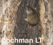 Antechinus flavipes LLP-938 ©Jiri Lochman - Lochman LT