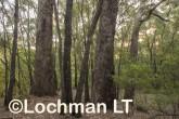 Corymbia-Eucalyptus calophylla - Marri AFE-693 ©Marie Lochman LT