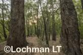 Corymbia-Eucalyptus calophylla - Marri AFE-694 ©Marie Lochman LT