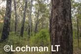 Corymbia-Eucalyptus calophylla - Marri AFE-695 ©Marie Lochman LT