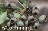 Corymbia-Eucalyptus calophylla - Marri ANY-946 ©Marie Lochman - Lochman LT