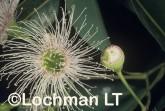 Corymbia-Eucalyptus calophylla - Marri OOY-384 ©Jiri Lochman - Lochman LT
