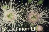 Corymbia-Eucalyptus calophylla - Marri XXY-036 ©Jiri Lochman - Lochman LT