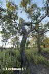 Corymbia calophylla - Marri AED-018 © Marie LochmanLT
