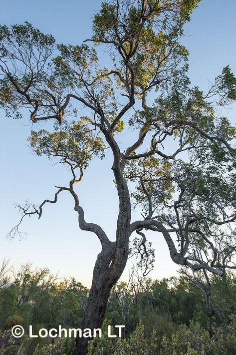 Corymbia calophylla – Marri
