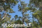 Corymbia calophylla - Marri  AFE-697 ©Marie Lochman LT