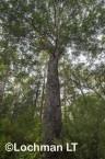 Corymbia calophylla - Marri  AFE-700 ©Marie Lochman LT