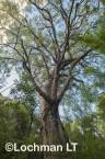 Corymbia calophylla - Marri  AFE-702 ©Marie Lochman LT