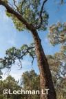 Corymbia calophylla - Marri AFE-876 ©Marie Lochman - Lochman LT