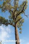 Corymbia calophylla - Marri AFE-877 ©Marie Lochman - Lochman LT