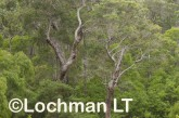 Corymbia calophylla - Marri  LLP-691 ©Jiri Lochman LT