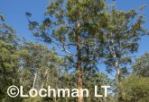 Eucalyptus diversicolor - Karri AFE-686 ©Marie Lochman LT
