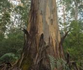 Eucalyptus diversicolor - Karri AFE-687 ©Marie Lochman LT