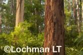 Eucalyptus diversicolor - Karri AFE-690 ©Marie Lochman LT