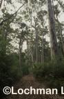 Eucalyptus diversicolor - Karri LGY-779 ©Jiri Lochman - Lochman LT