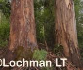 Eucalyptus diversicolor - Karri LLP-747 ©Jiri Lochman - Lochman LT