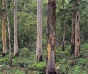Eucalyptus diversicolor - Karri XAY-017 ©Jiri Lochman - Lochman LT