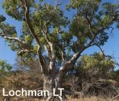 Eucalyptus gomphocephala Tuart  AED-111  ©Marie LochmanLT
