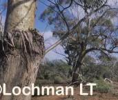 Eucalyptus loxophleba - York Gum ALY-351 ©Marie Lochman - Lochman LT