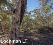 Eucalyptus wandoo - Wandoo AFE-879 ©Marie Lochman - Lochman LT