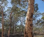 Eucalyptus wandoo - Wandoo AFE-882 ©Marie Lochman - Lochman LT